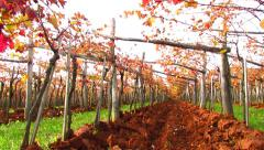 Trellis in Carst region with terra rosa soil - pan right Stock Footage