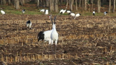 Red crowned Crane makes sound Stock Footage