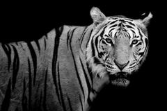 Tiger, portrait of a bengal tiger. Stock Photos
