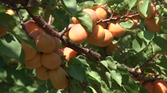 Clusters of ripe apricots Stock Footage