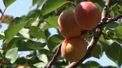 Ripe apricots on a branch Stock Footage