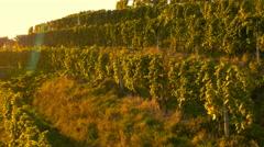 4K Aerial: Reveal Vineyard Land on Autumn Sunset Stock Footage