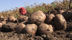 Potatoes in field, low-angle shot Stock Footage