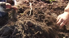 Potato picking in the fields  Stock Footage