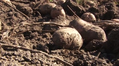 Harvested potatoes on the soil Stock Footage