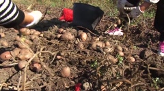 Workers picking potato Stock Footage