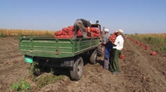 Workers put sacks of potatoes on the trailer Stock Footage