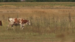 Cows are walking through the field Stock Footage