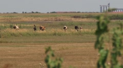 Herd of cows and the cowherd Stock Footage