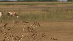 Cows grazing, weeds in focus Stock Footage