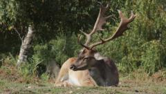 Deer in the forest Stock Footage