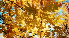 Autumn oak leaves swaying in the wind Arkistovideo