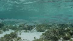 A school of Bonefish and a Southern Stingray Stock Footage