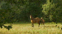 Horses Run in the Circles Stock Footage
