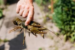 Stock Photo of man holding wild Signal crayfish