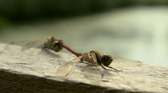 Dragonfly Reproduction Stock Footage