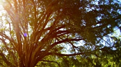 Sun Shining through Branches of Mature Ficus Tree - stock footage