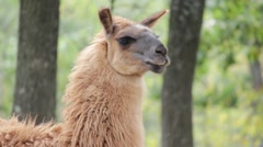Llama in the forest - stock footage