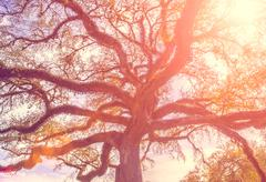Southern live oak tree with widely spread branches, dreamy vintage toning app Stock Photos