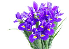 Spring blue irises Stock Photos