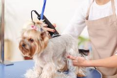 Yorkshire terrier is being trimmed - stock photo