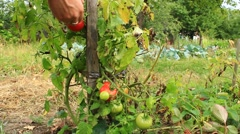 harvesting red tomatoes in the bush - stock footage