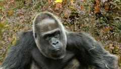 Stock Video Footage of Gorilla, Ape, Sit