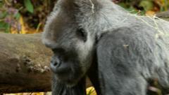 Stock Video Footage of Gorilla, Ape, Walk, Profile