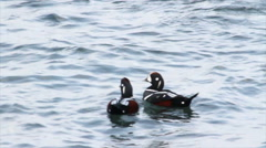 Harlequin ducks swim in the lake Stock Footage