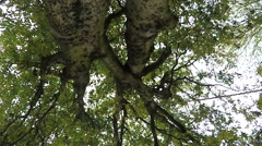 Straight up tree view with slow motion leaves falling Stock Footage
