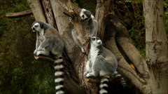 Ring-tailed Lemurs Sit In Tree Stock Footage
