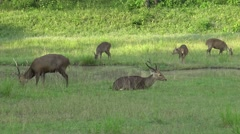 Group Sambar deer grazing grass in the forest. Stock Footage