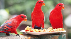 Cute Sun Conure parrot bird eating papaya fruit food Stock Footage