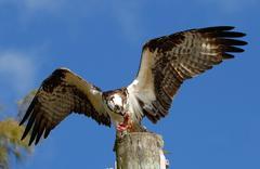 Osprey eating fish on a light pole - stock photo