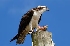 Osprey with a catch on a light pole - stock photo