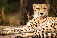 Cheeta resting in a shade - stock photo