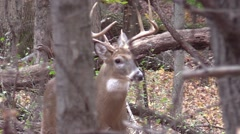 Deer whitetail buck animal nature forest fall closeup Stock Footage