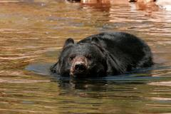 American black bear swimming in the water Stock Photos