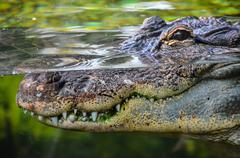 Amphibian Prehistoric Crocodile - stock photo