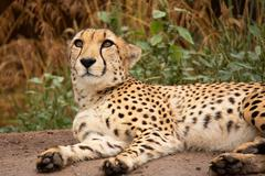 Cheetah resting in a shade - stock photo