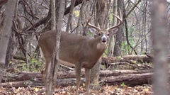 Deer whitetail buck animal nature forest fall closeup rut activity Stock Footage
