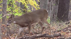 Deer whitetail buck standing broadside checking scrapes Stock Footage