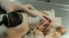 Stock Video Footage of MVI 0712 Shaving injured anesthetized cat with audio