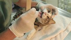 MVI 0711 Tounge examination of anesthetized cat Stock Footage