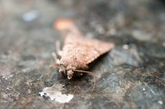 Night Insect Brown Moth Stock Photos