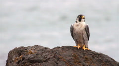 Peregrine Falcon on a rock - stock footage
