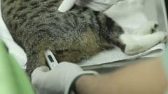 MVI 0708 Cat temprature measured by vet  Stock Footage