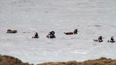 Harlequin ducks flock Stock Footage