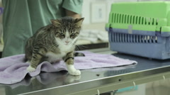 MVI 0696 veterinarian examines home cat - stock footage