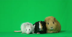 Rodents on a green screen Stock Footage